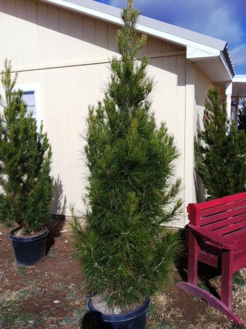 concho christmas tree farm christoval texas